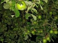 2. Egestorfer Apfel- und Birnenernte